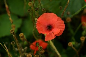 Wild_poppy_flower_small